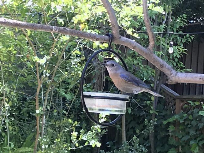 the bluebird in my yard